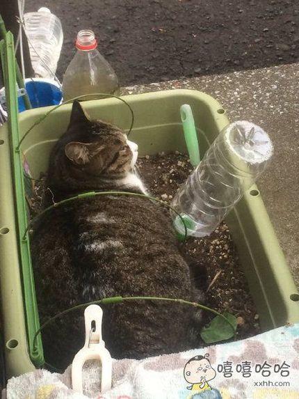 岛国一位主人意外地发现,种菜种久了,盆子里养分过剩,就会长出猫来