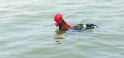 活久见!公鸡和主人一起游泳图片
